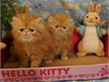 4 Beautiful Long haired Top Quality Purebred Persian Kittens from CFA Champion Parents for Pets 1