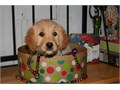 Super adorable Golden Doodle Puppies So gentle and affectionate I have one male and one female lef