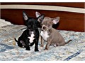 Lovely Looking chihuahua Puppies Ready Now for a very good home onlyCute and Affectionate lova