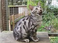 Bengal Male Female  for more information and some lovely pics text to reach us with 319 983 370