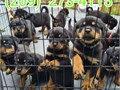 Say hello to these very cuddly and adorable rottweiler puppies They are fami