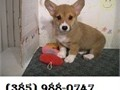 Super adorable Pembroke WElsh Corgi Puppies So gentle and affectionate I have 2 left  Please cont