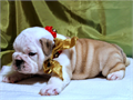 We have AKC English Bulldog puppies for sale Featured here is our Chocolate Female She is a Triple