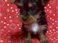 Yorkshire terrier female puppy registered vaccinated and health guaranteed  Located just NW of Au