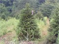 Buy beautiful trees on sale  26   4-5  Norway White Spruce Blue Spruce Douglas Fir