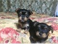 I have some amazing and wonderful male and female yorkie puppies available My babies will come home