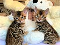 cute looking bengals ready for adoption Text 1 615 270-3896 for more details