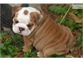We have two lovely male and female English Bulldog puppies now ready for adoptioncurrently on all s