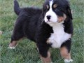 Bernese Mountain puppiesAll puppies are AKC registered Puppies are raised in my homecontact us