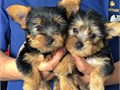 They are purebred Yorkie who are expected to be about 5 pounds when full grown they have been socia