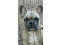 Akc register french bulldog pups for sale 3 females 1 male are available shots and deworming medicat