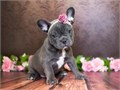 Say hello to these gorgeous French Bulldog puppies who are excited to meet their new loving families