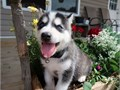 Pure Alaskan Malamute Pups For more info and pics contact us at 205 346-7638