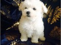 Our beautiful Maltese Chloe has had 4 Snow White healthy puppys 2 boys and 2 girls which we are ve