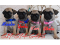 Pug Puppies for sale  we have an absolutely beautiful litter of Pug Pups 4 total 2 females and 2