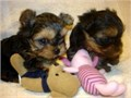 Male and female Yorkie puppies 3 Boys  2 Girls healthy playful both parents and grandma can be