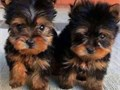 Registered Yorkie puppies for sale Male and female Excellent colors and markin