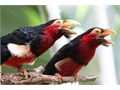 Hi thereIm looking for one female Bearded Barbet We have a lonely male whod be very happy t