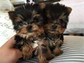 Gentle yorkie puppies ready to leave for their new familys they are AKC registered and come with al