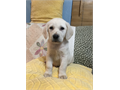 Beautiful english Labrador retriever puppies 2 males and 2 females available Shots and dewormin