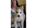 We got Three Siberian husky puppies 14 weeks old They male is black and white while the female is
