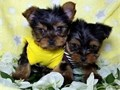 We have a male and female Yorkie puppies to offer They are well trained and ver