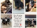 Chocolate tri French bulldog  Akc registered  Proven producer Carries choco blue black