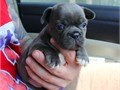 Name TiffanyRegistration AKCColor Blue some brindle  whiteDOB 7-9-17AVAILABLE 9-