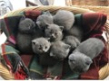 Amazing British short hair kittensI have a beautiful litter of 6 kittens 3 boys and 3 girlsMum