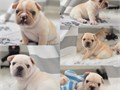 Cute adorable french bulldog puppies are Akc registered and all ready for rehoming they are very fr