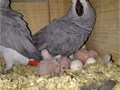 Lovely and adorable African Grey for you Comes with all papers well socialised and hand fed Conta