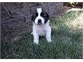 Cute Saint bernard puppies looking for lovely homes They are well trained at home with other kids a