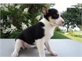 Jack Russell puppies for sale 602 842-8885AvailableMale  FemaleCall Or Text