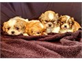 Beautiful Shih-Tzu puppies purebred with papers One girl and 3 boys available Gorgeous coats The