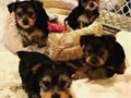 4 Pure Breed 100 teacup Yorkies puppies adorable 2 females and 2 males with registration They are