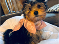 Healthy litter of very playful happy male and female Yorkshire Terrier puppies ready for adoption