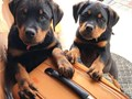 XMAS Rottweiler PuppiesBeautiful litter of Rottweiler puppies Ready to leave now these are quali