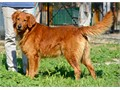 Charlie available for StudAKC Golden Retriever in good health great temperament followed AKC st
