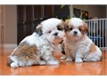 Male and female Shih Tzu puppies TEXT US AT 210 988-0081  they are AKC Registered up to date wi