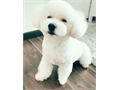 Cute Poodle puppies Please text us at 707 x 346 x 48 42 or email us at jamesadams3813gmailcom