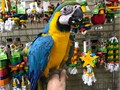 Hi every one we are very excited to anounce that we do we have the first blue  gold macaw babies o