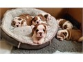 Purebred AKC papers vaccinationsEnglish bulldog puppies  available  parents on premises very swe