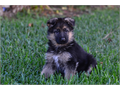 High Class Germn Shepherd puppy for select home If you are looking for a complete German Shepherd
