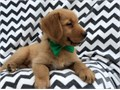We have 6 adorable golden retriever puppies ready for sale The litter comprises of 3 males and 3 fe