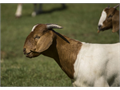 Boer Goat Male intact 5 months old great condition Future herd Sire Nice looking parents  tw