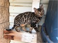 A Rare Tortoishell Mufasa Is a very large Purebred and papered gorgeous loud clouded leopard with v