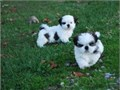 We need a good and caring home for our two teacup Shih-Tzu puppies They are 12 weeks old and up to