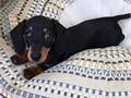 Lovely dachshund puppies ready for rehoming text 864-392-4183 and this puppies are coming with all p