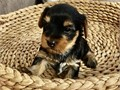 liamcoop44gmailcomHe is a very playful little Yorkie He loves playing in the yard and he enjo