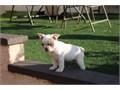 Nina is a beautiful little medium cream black mask French Bulldog shes more apr